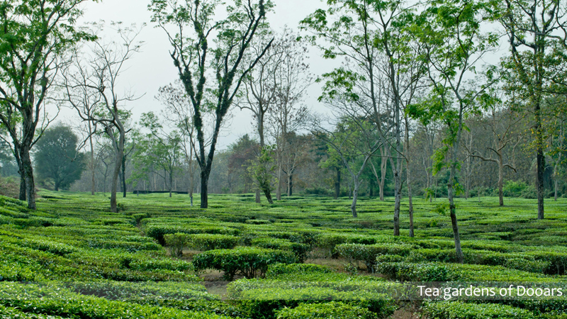 Dooars Tea Gardens_SPT