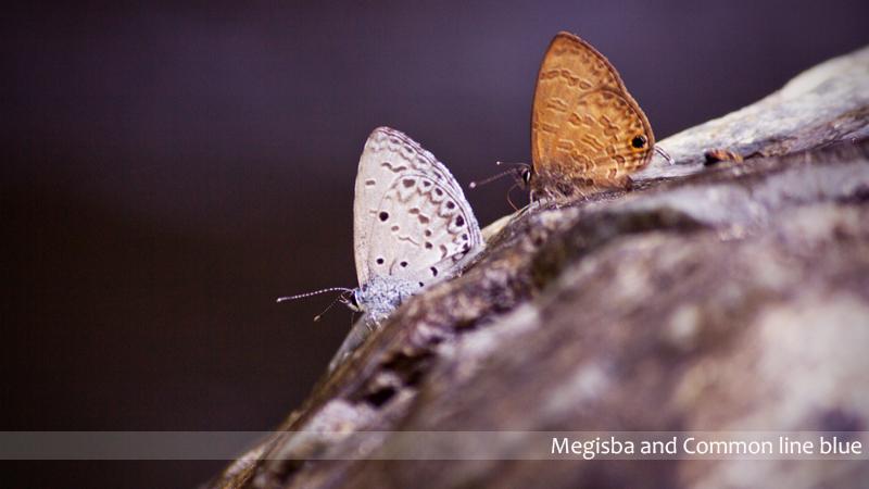 Butterflies1 BTR_SPT